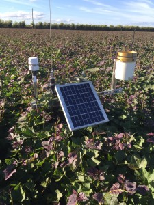 Weather Station in sweet potatoes